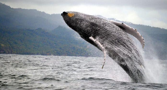 Este año más de 20 mil personas han visitado las Ballenas Jorobadas en Samaná